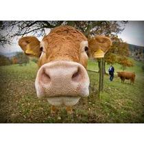 Cria Vacas Toros Becerros Ganado Bovino Vacuno Pc Env Gratis