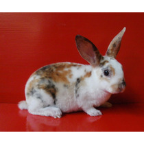 Hermosos Conejos Rex Satinados