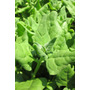 1 Lb Semillas Espinaca Variedad Viroflay - Spinacea Oleracea
