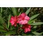 20 Semillas De Adelfa - Nerium Oleander Codigo 545