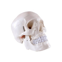 Cráneo Médica Humana Anatómica De Alta Calidad Classic 3 Par