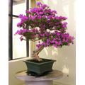 Bonsáis Flor-arbol, 60 Semillitas, Instructivo, Envío Gratis