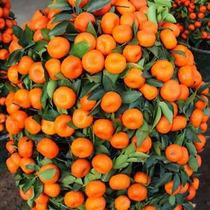 Frutal Mandarina Enana Japonesa Autentica