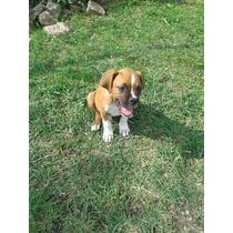 Cachorros Boxer De 3 Meses De Edad