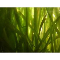 Plantas Acuáticas En Maceta Vallisneria, Sagittaria, Bacopa
