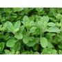 Mejorana ( Planta ) , Aromatica
