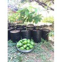 Arbol De Aguacate 3 Años De Huerto Casero Organico 100%