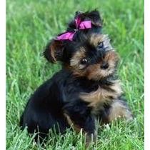 Yorkshire Terrier Cachorros Super Tiernos