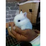 Hermosos Conejos Netherland Dwar (enano Holandes) 100% Puro