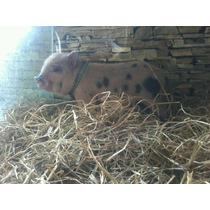 Mini Pig Cerdito