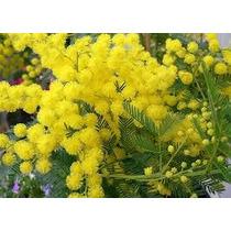 Acacia Golden Mimosa 4 Semillas Árbol Jardín Sdqro