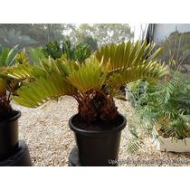 1 Planta De Vivero De 50 Cm Zamia Cicada Zamia Furfuracea