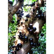 Jaboticabo -frutal Exotico- Chicos Y Grandes