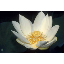 9 Semillas De Nelumbo Nucifera (flor De Loto) Codigo 600
