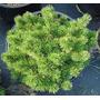 15 Semillas De Pinus Mugo Mughos (pino Enano) Codigo 942
