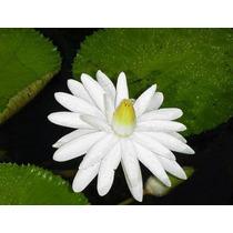 10 Semillas De Nymphaea Juno White (nenufar Blanco) C. 605