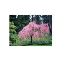 5 Semillas De Prunus Subhirtella Pendula - Cerezo C. 835