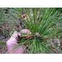 10 Semillas De Pinus Thunbergii (pino Negro) Codigo 943