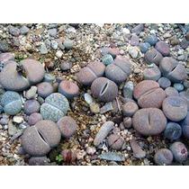 50 Semillas De Lithops - Piedras Vivientes Codigo 1421