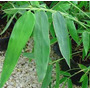 12 Semillas De Dendrocalamus Strictus (bambu Macho) Cod 1314