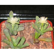 10 Semillas De Stomatium (mezcla De Especies) Codigo 1416