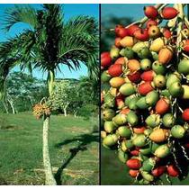 3 Semillas De Veitchia Merrillii - Palma De Manila C. 1322