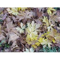 10 Semillas De Acer Saccharum (arce De Maple) Codigo 861
