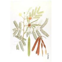 25 Semillas De Leucaena Leucocephala (arbol Del Guaje)