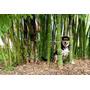 12 Semillas De Bamboo Phyllostachys - Bambu Moso Codigo 1310