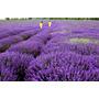 50 Semillas De Lavanda Planta Aromatica Jardin