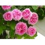 Rosa Trepadora Color Rosa 8 Semillas Flor Jardín Sdqro