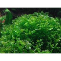 Planta Acautica Round Pellia (limariopsis Lineata)