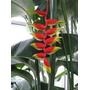 Flores Ex�ticas Heliconia Rostrata