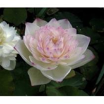 8 Semillas Flor De Loto Gratis Semillas De Nenúfar Y Envío