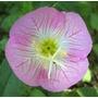 Primrose Rosa 15 Semillas Solo Con Mercadopago Mpsdqro