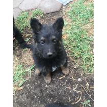 Cachorros Pastor Alemán Negro Sólido