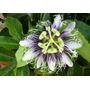 Enredadera Passiflora Maracuya Passiflora Edulis Flavicarpa