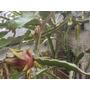 Pitahaya Pitaya Arbol Frutal Cactus Esquejes Facil Enraizan
