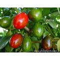70 Semillas De Capsicum Annum (chile Catarina) Codigo 469