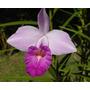 Orquideas Arundina Graminifolia Orquídea Bambú Planta Grande