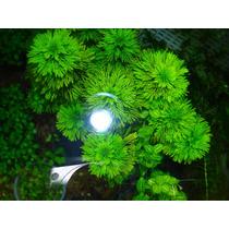 Planta Acuatica Ambulia (limnophila Sessiliflora)