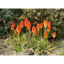 Bulbos , Flores, Tritoma ,planta ,raiz