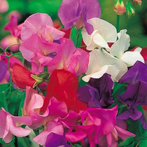 Chícharo De Olor Mix 8 Semillas Flores Jardín Planta Sdqro