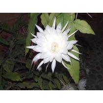 Planta Bella De Noche, Hermosisima