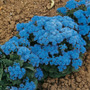Semillas Ageratum Azul Rosa Blanco Purpura Flores Jardin