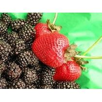 Zedna´s Berries Fresa Y Zarzamora