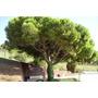 Pino Piñonero . Pinus Pinea