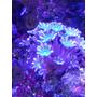 5 Corales X $500  Aprovecha  Principiantes..