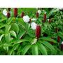 Flores Exóticas Jengibre Flor De Papel