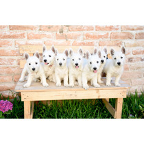 Cachorros West Highland White Terrier Pedigree Internacional